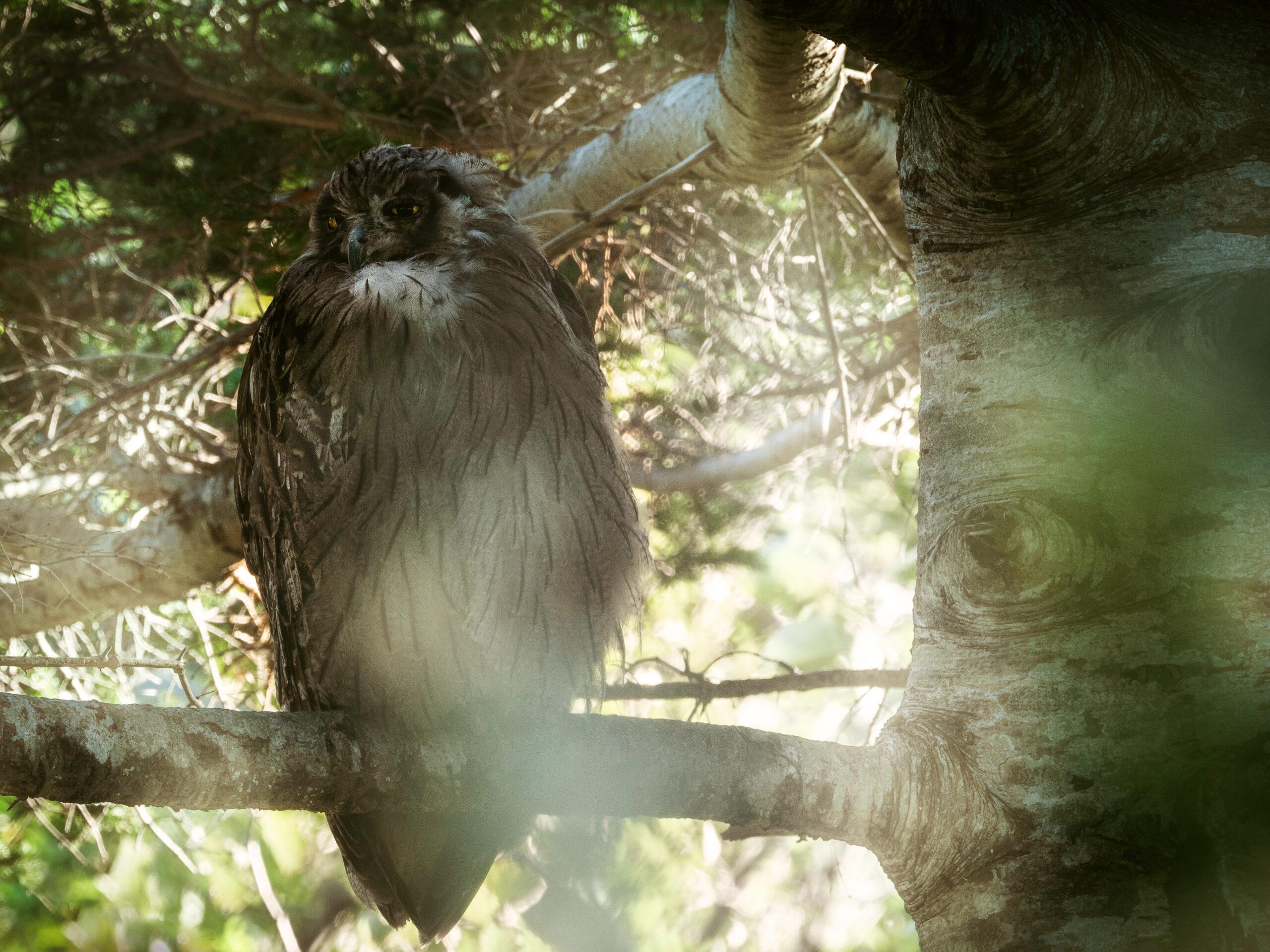 北海道、知床のシマフクロウの写真